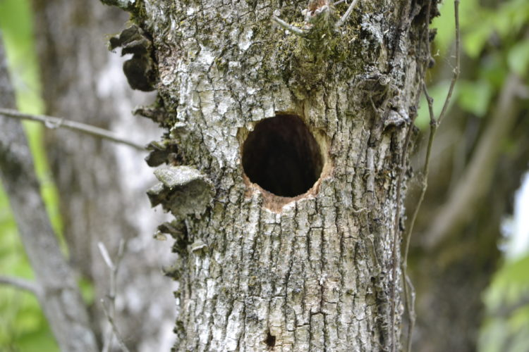 A woodpecker's home. Hopefully a cool pileated woodpecker.